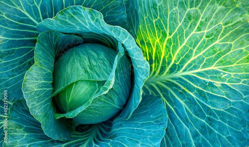 Fotografía Big green cabbage on the farm. Vegetarian food background.