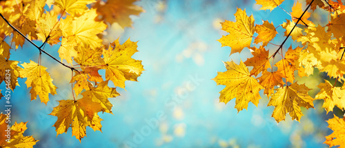 Fotografia Autumn yellow maple leaves on a blurred forest background, very shallow focus