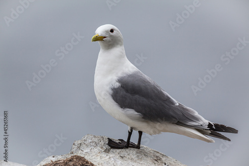 Billede på lærred Kittiwake (Rissa tridactyla) standing on a cliff in the bird colony of Hornöya a