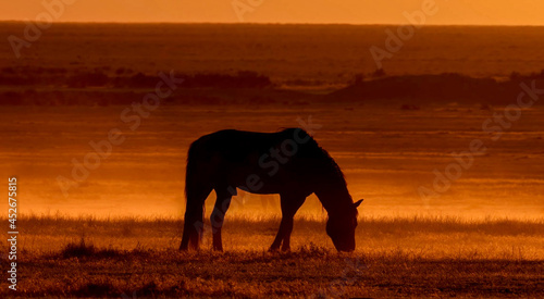 Obraz na plátně Silhouette of a mustang from the USA eating on a grassy field during a beautiful