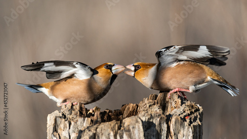 Obraz na płótnie Hawfinch Coccothraustes coccothraustes