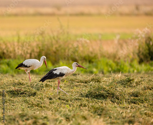 Canvas Print white stork in the grass
