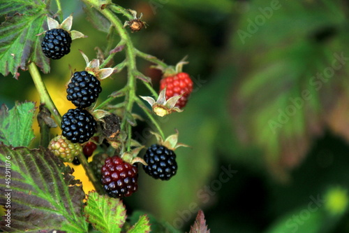 Canvas Print Organic blackberries on a branch in the garden