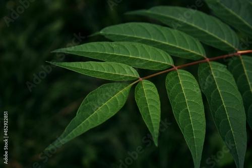Ciemnozielone liście