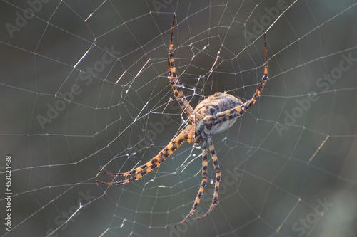 Large spider Argiope bruennichi on a web. Tapéta, Fotótapéta