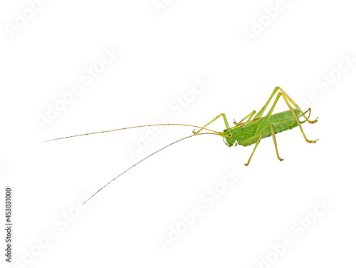 Fotografie, Obraz small green grasshopper with long antenna isolated on white background