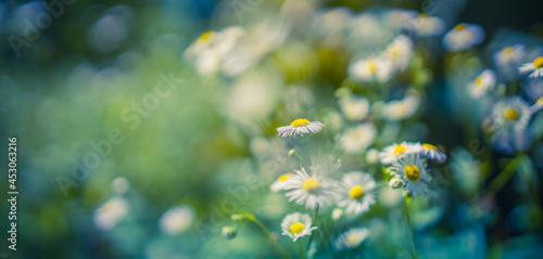 Wild daisy flower meadow grass in the forest at sunset Fototapeta