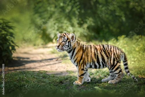 beautiful young bengal tiger cub standing curious in nature Fototapet