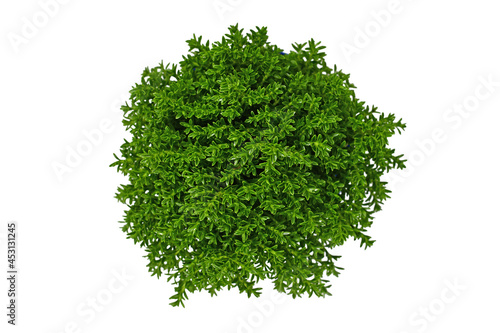 Foto Top view of 'Hebe Armstrongii' hybrid plant on white background