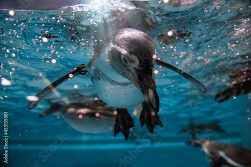 Fotografie, Obraz Penguin diving under water, underwater photography
