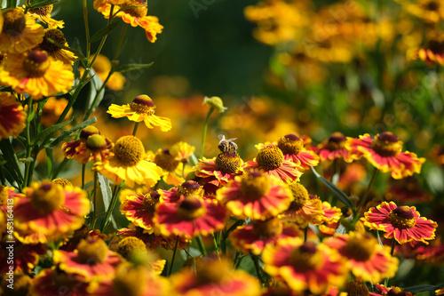 pszczoła,dzielżan ogrodowy