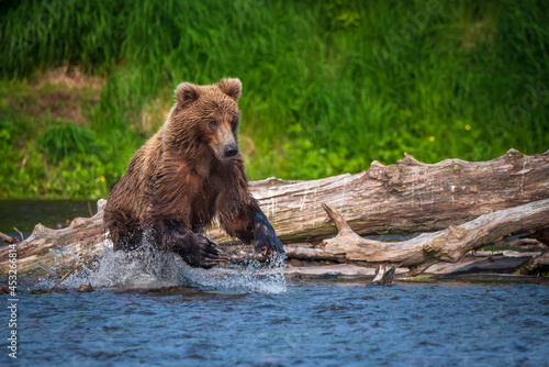 Kamchatka, a bear is chasing a sockeye fish in the lake, splashes in all directions Tapéta, Fotótapéta