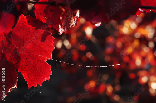 Murais de parede Red leaves of grapes and spider webs in dew drops after rain in sunlight in a vineyard