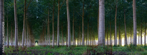 Fotografie, Obraz poplar forest at dusk in forest  in between tours and angers