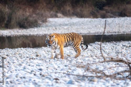 The Royal Bengal Tiger from Corbett National Park. Fotobehang