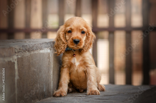 Canvas english cocker spaniel dog magical photo of little ginger puppies beautiful ligh
