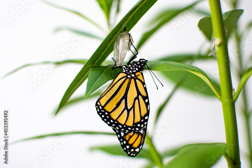 Endangered monarch butterfly just emerged from its chrysalis ona milkweed Fototapet