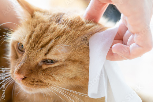 Fotografiet Ginger cat cleaning ears by a white cloth in bathe dry cleaning for Animal