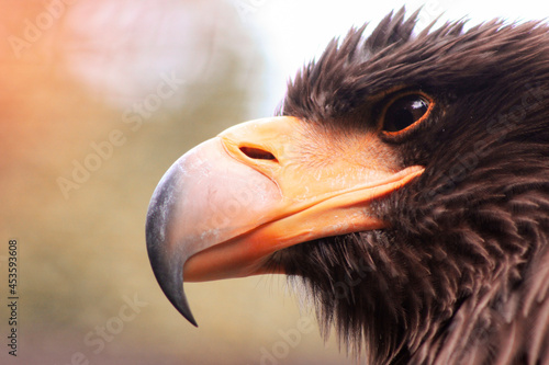 Cuadros en Lienzo white-tailed eagle, beak, eagle eye, raptor, beak orange
