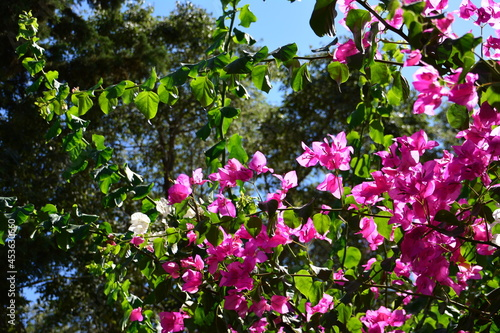 Photo pink and purple flowers of bougainvillaea plant with green leaves on blue sky ba