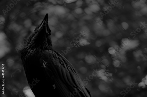 Fototapeta premium Grayscale shot of a raven in a field in the daylight with a blurry background
