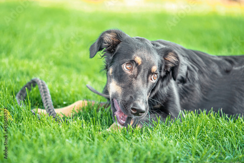 Carta da parati mongrel puppy gnaws a leather leash on a walk in the park