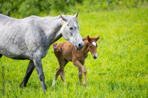 Canvas A young foal with its mother
