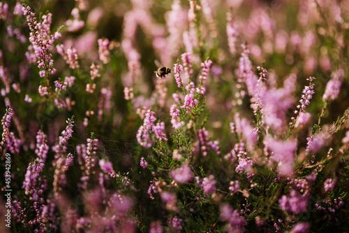 Wrzosowisko trzmiel różowe kwiaty