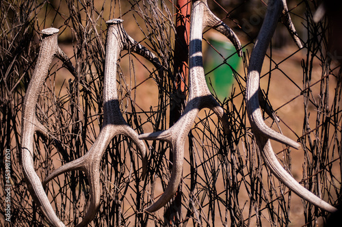 Fotografia White deer antlers hang on the fence after the seasonal molt