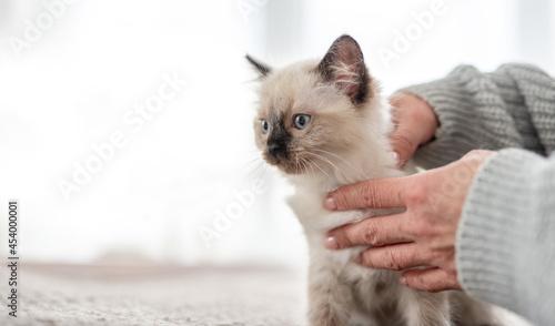 Obraz na plátně Ragdoll kitten in the hands of owner