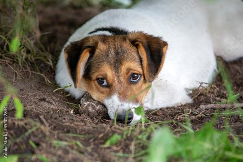 Fotografie, Obraz jack russell terrier