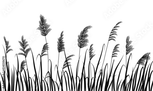 Fotografia Silhouette of reeds and marsh grass on white background.