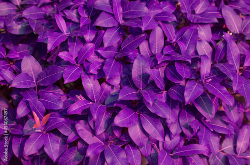 Fotografie, Obraz Colorful purple leaves pattern in the bush as vivid leafs textured and showy fol