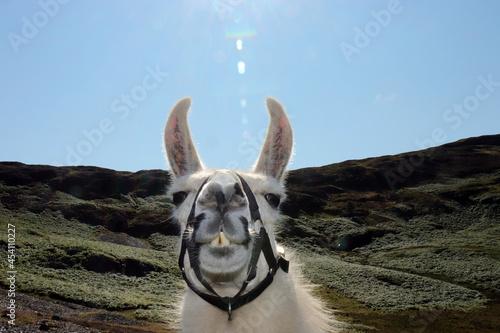 Photo goofy alpaca