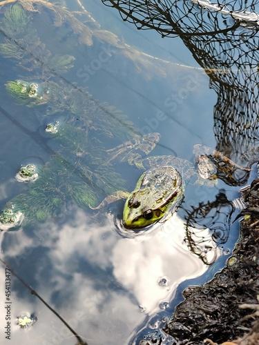 Fotografie, Obraz frog in the pond