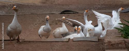 Fotografie, Obraz Gaggle of Geese 1