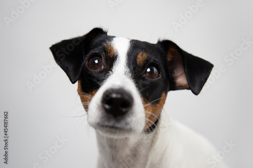 Obraz na plátně Portrait of a cute dog jack russell terrier breed on a white background