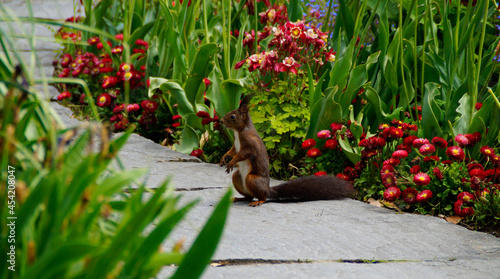 Fotografia, Obraz a cute brown squirrel standing on its hind legs on the footpath surrounded by th
