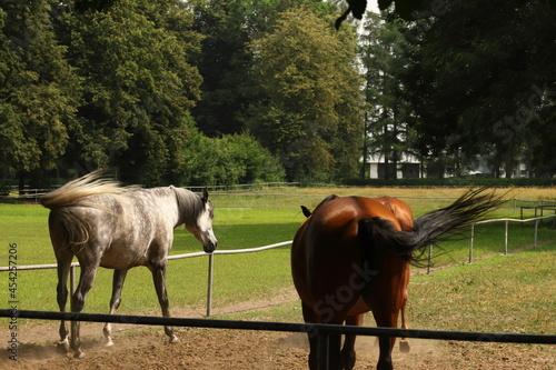 Koń, konie, Janów Podlaski, angloaraby, zwierzęta