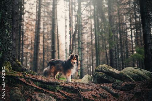 Stampa su Tela Sheltie im Wald