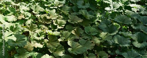 Tela Burdock field, big leaves