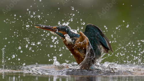 Valokuva Female Common Kingfisher emerging from a dive with a green background