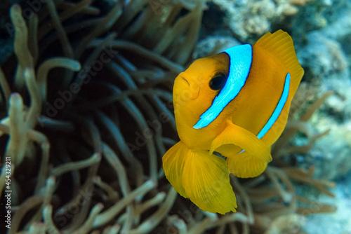 Red Sea anemonefish - Red Sea clownfish  (Amphiprion bicinctus) Fotobehang