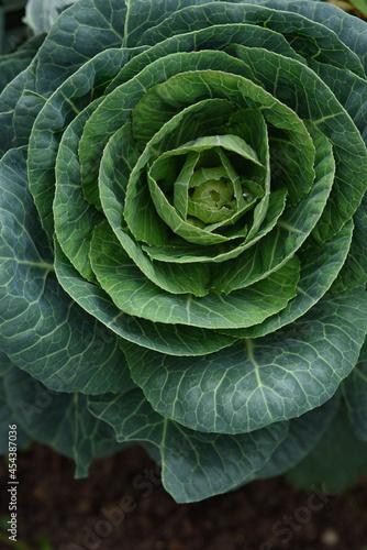 Fototapeta Close up of cabbage head