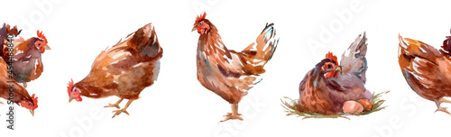 Fotografija Flock Of Chickens Including Hens And Roosters In Open Grassy Field On White Background