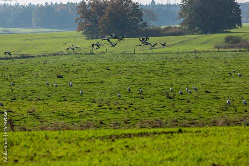 Fototapeta premium Cranes On A Field In Germany