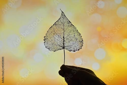 Fotografie, Obraz Autumn Dry Transparent Poplar Leaf