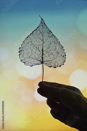 Obraz na plátně Dry Transparent Poplar Leaf in Nature