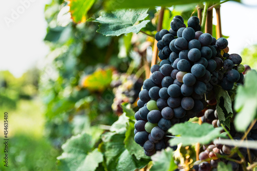 Murais de parede Grappolo di uva da vino in vigna