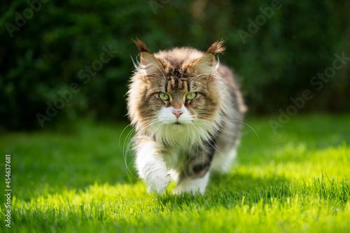 Fototapeta fluffy tabby white maine coon cat outdoors in sunny green garden walking towards